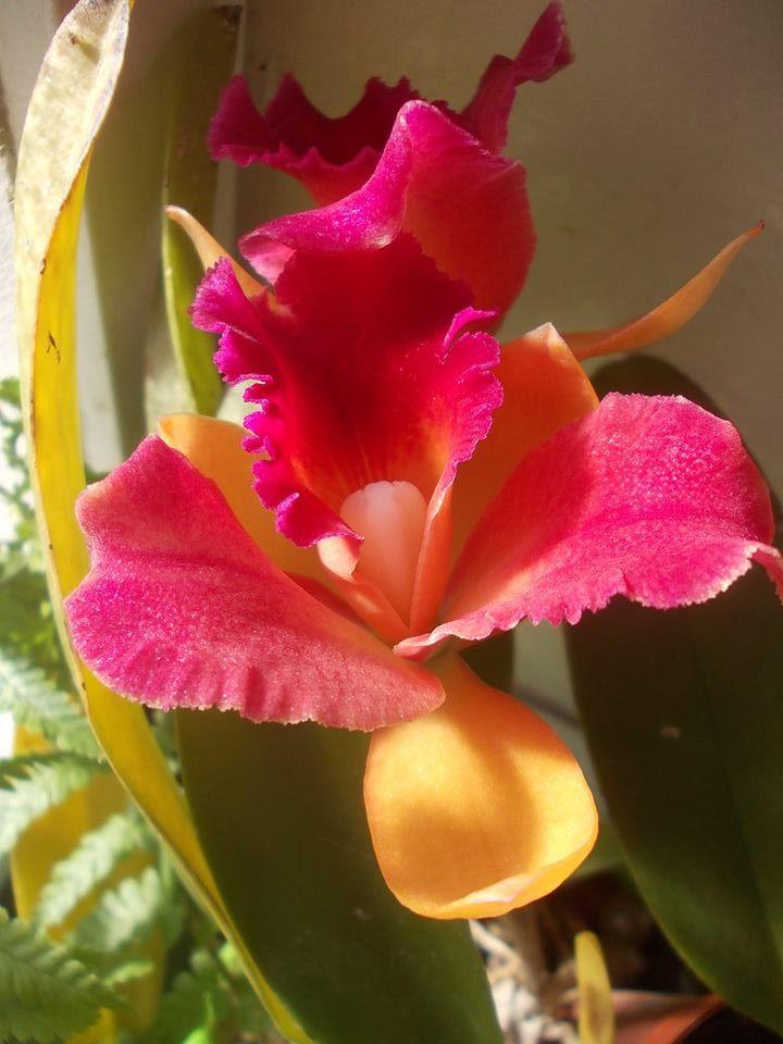 Orchidée Cattleya <3 ~~~~~~