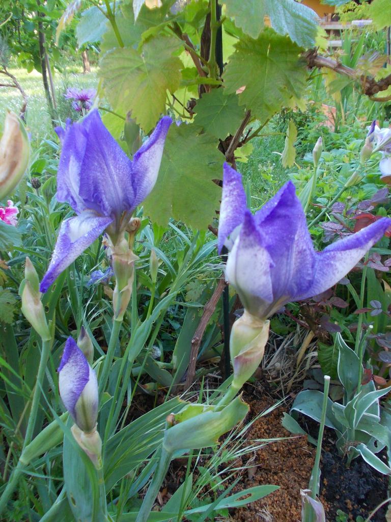 L' Iris ou Messagère des Dieux'''