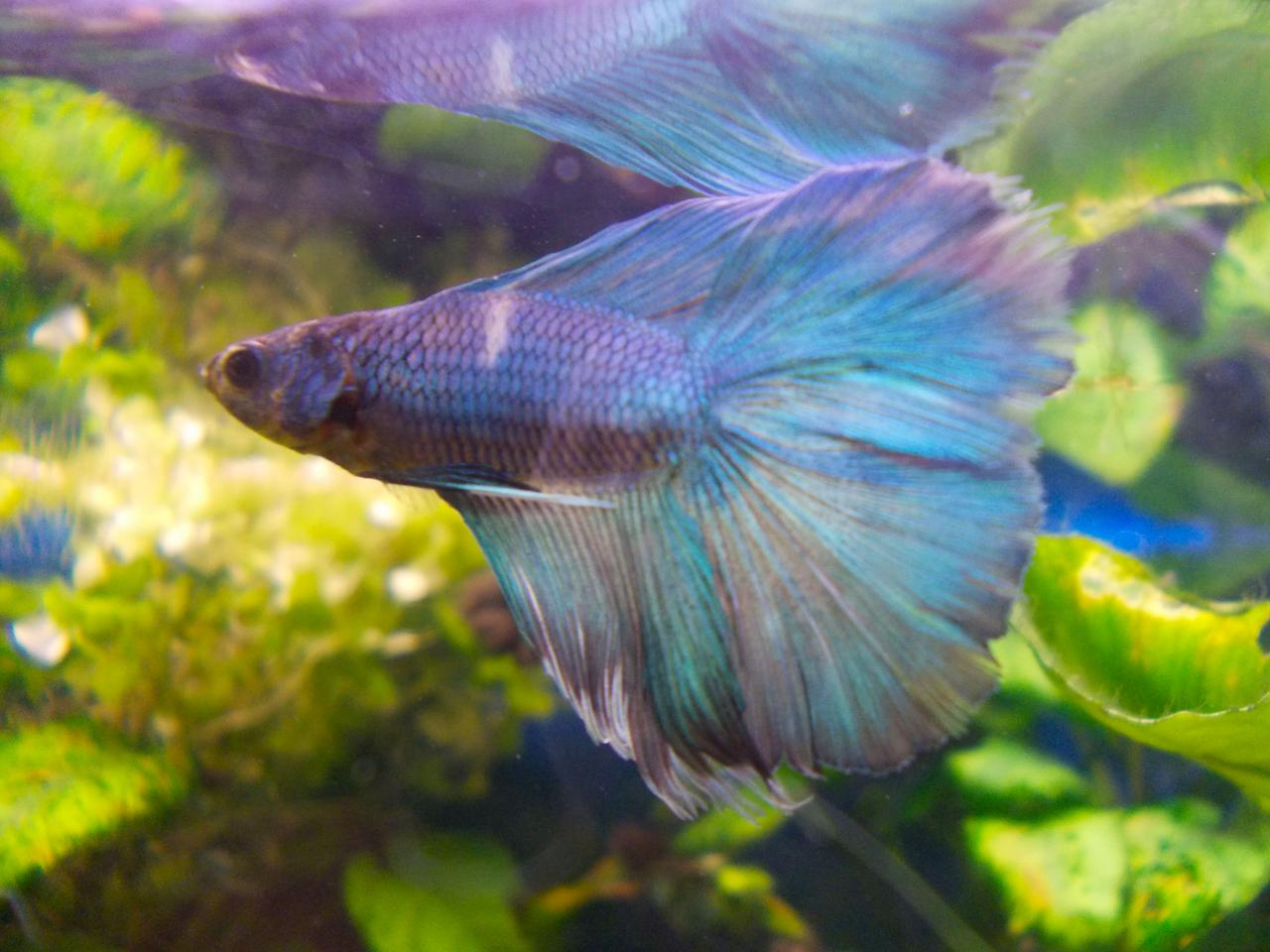 Betta splendens Half-moon