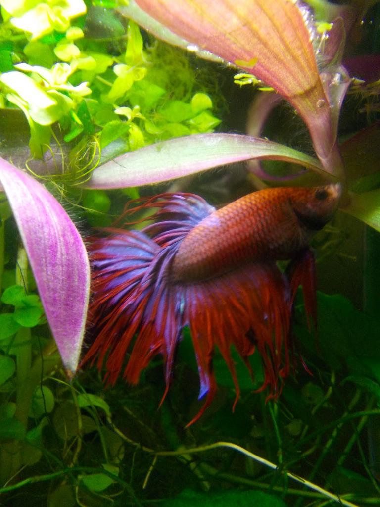 Hina, combattant crowntail qui partage ma vie.'