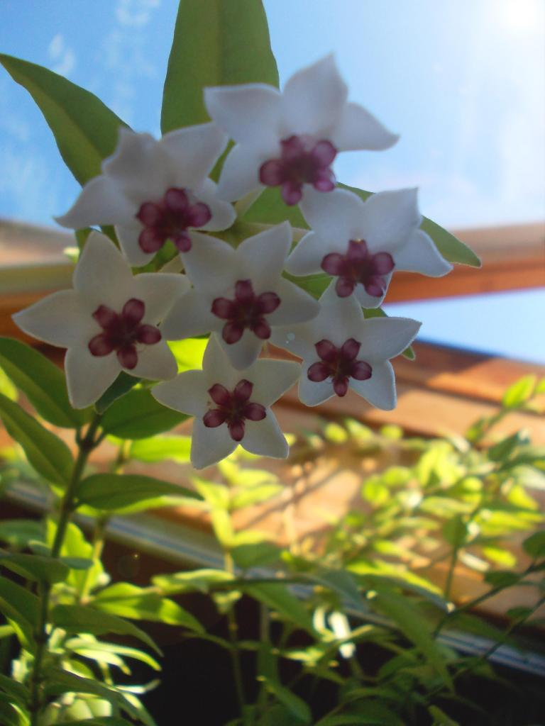 Hoya bella en fleurs'