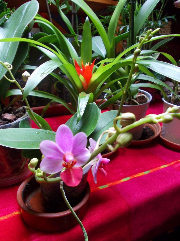 Orchidée Phalaenopsis hybride à petites fleurs***