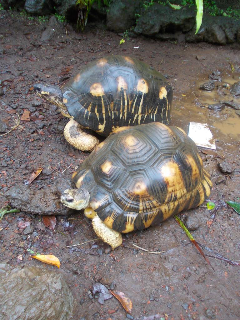 Tortue étoilée de Madagascar' Astrochelys radiata'